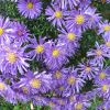 Flower of the Day: Aster