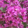 Flower of the Day: Bougainvillea