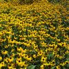 Flower of the Day: Rudbeckia