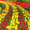 The Points East Tulip Festival